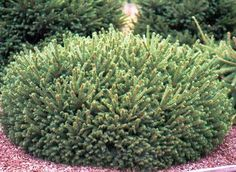 Pumila Globe Spruce (2m high, 1m wide) A dwarf globular spruce with flat and compact branches of dense, bright green foliage. Grows best in full sun. Canadale Nurseries Ltd.