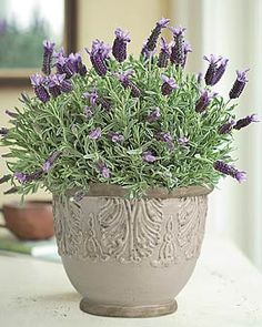 Lavender Plant In Cachepot Plants Things