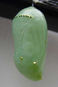 Monarch chrysalis    -Repinned by Totetude.com