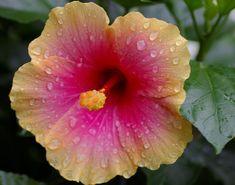 Hawiian hibiscus tattoo inspiration