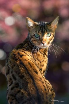 Bengal Cat in the Garden (by Andreas Krappweis)