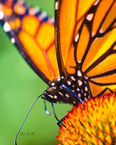 """Monarch Butterfly head.. Photograph  - Fine Art Print"""