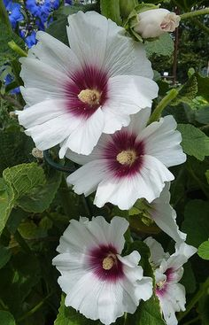 Hollyhock Alcea 'Halo Blossom' almost looks like hibiscus