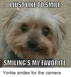 Image result for yorkie memes