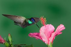 A big, long-billed hummingbird of forests in the southwestern mountains. Almost as large as the Blue-throated Hummingbird found in the same ranges, the Magnificent is not usually so aggressive or conspicuous, but some individuals are very pugnacious in defending flower patches or feeders, even fighting with the Blue-throat at times. In hovering flight, the wingbeats are almost slow enough for the human eye to see.