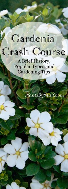 Gardenias are a gardening favorite thanks to their fragrant flowers and gorgeous foliage! Read along with us as we detail several different aspects of this timeless beauty. Vegetable Garden Design, Diy Garden, Summer Garden, Gardenia Care, Brick Patterns Patio, Chinese Garden, Plant Care, Planting Flowers, Gardina Flowers