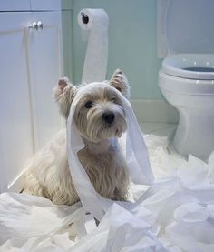 """West Highland Terrier: """"Sorry? I thought this was how a bathroom was MEANT to look! West Highland Terrier, Animals And Pets, Baby Animals, Funny Animals, Cute Animals, Funny Dogs, Love My Dog, Dog Pictures, Animal Pictures"""