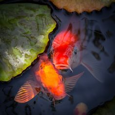 """""""Hopeful Faces by Priya Ghose - """"Colorful and tame, the koi fish in my small backyard pond are always hungry for a tasty treat. They swim up to the top of the pond and beg for a snack, opening and closing their whiskered mouths while. Koi Art, Fish Art, Small Backyard Ponds, Koi Painting, Goldfish Pond, Japanese Koi, Fish Ponds, Beautiful Fish, Water Lilies"""