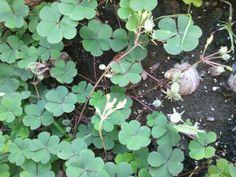 Pequeñas plantitas de  Trebol en mi patio. F091315