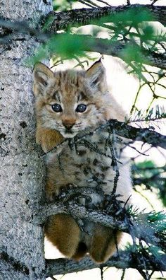 2 month old Canadian lynx cat