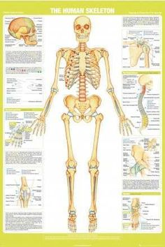 THE HUMAN BODY medical science educational MAXI WALL POSTER CHART 61CM X 91CM