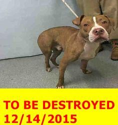 SAFE 12-14-2015 by Amsterdog Animal Rescue --- Manhattan Center – P My name is JASON. My Animal ID # is A1060094. I am a male brown and white pit bull mix. The shelter thinks I am about 8 MONTHS old. I came in the shelter as a STRAY on 12/10/2015 from NY 10455, owner surrender reason stated was STRAY. http://nycdogs.urgentpodr.org/jason-a1060094/