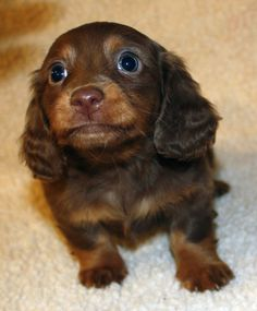 Miniature Dachshund Puppies | Miniature Dachshund Puppies, Weatherly's Dachshunds AKC Longhair ...