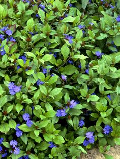 Hardy Plumbago (Ceratostigma plumbaginoides) in 24 Groundcover Plants for Sun from HGTV