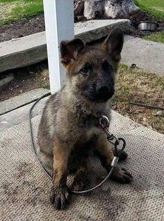 Yay, the German Shepherd puppy found the mud.