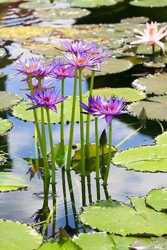 A beautiful flower that provides the water garden very attractive, the name Water Lily. Pond Plants, Aquatic Plants, Water Plants, Exotic Flowers, Amazing Flowers, Beautiful Flowers, Beautiful Gorgeous, Ikebana, Lily Pond