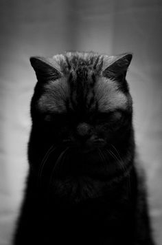 Black cats - Please consider adopting a black cat from a shelter.yet they are absolutely amazingly wonderful grateful lifelong friends I Love Cats, Big Cats, Cool Cats, Cats And Kittens, Beautiful Cats, Animals Beautiful, Cute Animals, Crazy Cat Lady, Crazy Cats