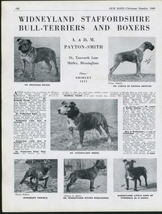 STAFFORDSHIRE BULL TERRIER OUR DOGS OLD 1949 DOG BREED KENNEL