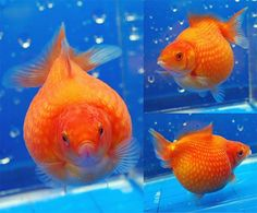 Pearlscale Facts. These guys are also known as Ping Pong Goldfish. Not everyone likes them but I think they are fun to have.  #Goldfish #Fish #FishTank #PearlScale