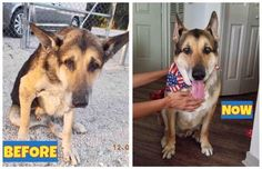 We adopted Jake from a Miami shelter in January. He may be a senior but hes never looked younger. #dogs #pets #dog #Adopt #love #cute #animals #puppy