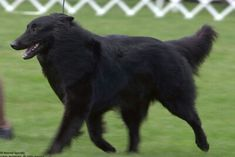 Belgian Shepherd, Love Me Forever, Dog Breeds, Horses, Dogs, Pets, Animaux, Pet Dogs, Horse