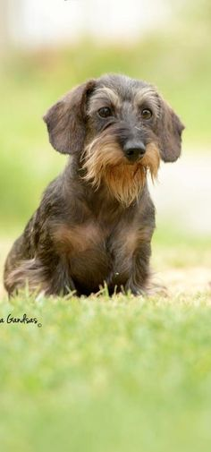 .A blue and tan wirehaired!! Love!