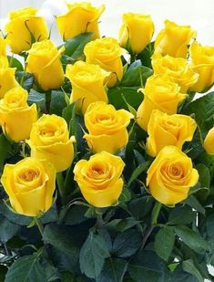 Bunch of Yellow Roses Beautiful Rose Flowers, Wonderful Flowers, Exotic Flowers, Beautiful Flowers, Green Rose, Yellow Flowers, Roses Only, Most Popular Flowers, Rose Pictures