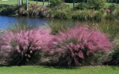 Pink Muhly GrassPink Muhly Grass (Muhlenbergia capillaris) - For a beautiful yet low maintenance ornamental, start Pink Muhly Grass seeds, and enjoy the movement and texture of this native grass. Ornamental grasses add beauty to the landscape as t. Grass For Sale, Garden Spotlights, Pink Grass, Pink Cotton Candy, Cotton Candy Grass, Grass Seed, Pampas Grass, Ornamental Grasses, Ornamental Grass Landscape