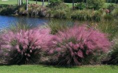 Pink Muhly Grass - Muhlenbergia capillaris #gardening #PinkMuhlyGrass #outdoors