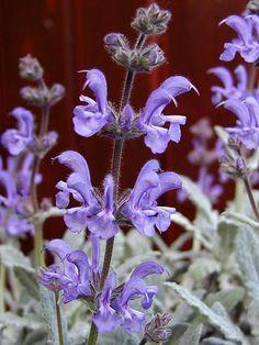 Salvia cyanescens Salvia, Seeds, Garden, Flowers, Nature, Plants, Blue, Bonito, Garten