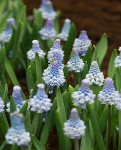 """A lovely powder blue muscari. Muscari Azureum is a pretty non invasive """"Grape Hyacinth"""". It has tightly packed flowers which open at the tips. This lovely Muscari is an heirloom variety first noted around 1877 heirloom."""