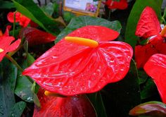 Anthurium. Fotografía de Kai Jan, Joseph Wong