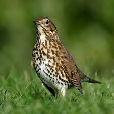 The Mistle Thrush (turdus viscivorus), is a large thrush which differs from the more abundant Song Thrush in its greater size, greyer-toned plumage and longer tail. The Mistle Thrush inhabits woods, parks, gardens and farmland. Snails, slugs, worms, insects and berries form their main diet. Some of their favourite types of food include berries from yews, holly trees and mistletoe and is the most likely reason for their name.