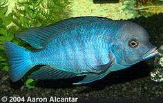 ... Name: Cyrtocara moorii Common Name(s): Hap moorii, Blue Dolphin