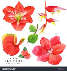 Botanical Illustration With Realistic Tropical Flowers And Leaves. Watercolor Collection Of Red Flowers, Anthurium, Amaryllis And Strelitzia. Handmade Painting On A White Background. - 412550701 : Shutterstock