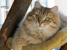 Annushka ~ Mystic Melody Siberian Cats
