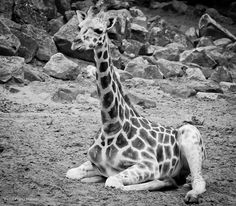 Giraf jong