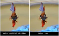 betta fish are too funny