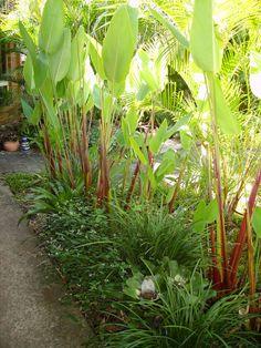 Thalia geniculata 'Ruminoides' in garden bed with liriope & neoregelia. Gold Coast garden.