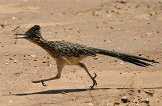 The roadrunner bird | Monkeyland Primate Sanctuary Plettenberg Bay Activities Garden Route Adventures South Africa