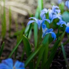 Planting Siberian Squill Bulbs – Tips For The Care Of Siberian Squill