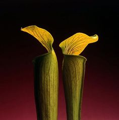 double jack in the pulpit, 1988 • robert mapplethorpe