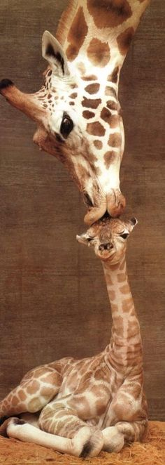 Mama giraffe's first kiss?