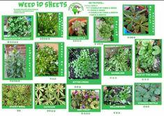 Tortoise weed ID sheet …