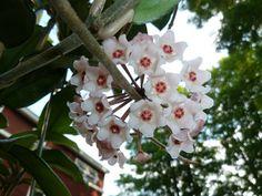 Hoya crassifolia