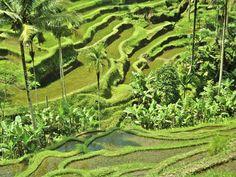 Tegalalang Rice Terrace, Ubud, Bali |  Stacey Geldenhuys | Travel Photography