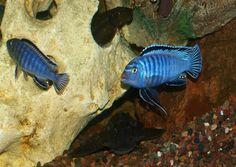 My Blue Cichlids