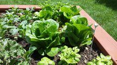 fresh lettuce for the season