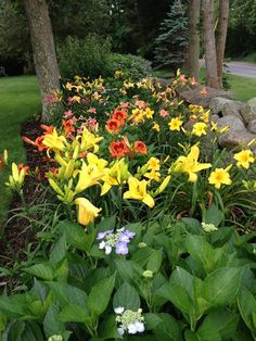 Day lily garden. Pretty day lilies.--Lilies are my ultimate favorite flower!!