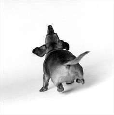 love this view of a happy doxie!  check out the airborne back feet:)